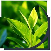 toksyny-oczyszczanie-bezale-zdrowie-uroda-nikorix-zielona-herbata