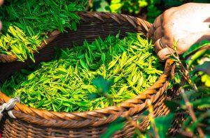 herbata-zdrowie-medycyna